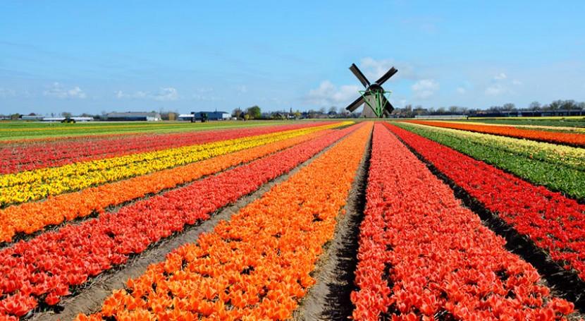 NextGen tulips